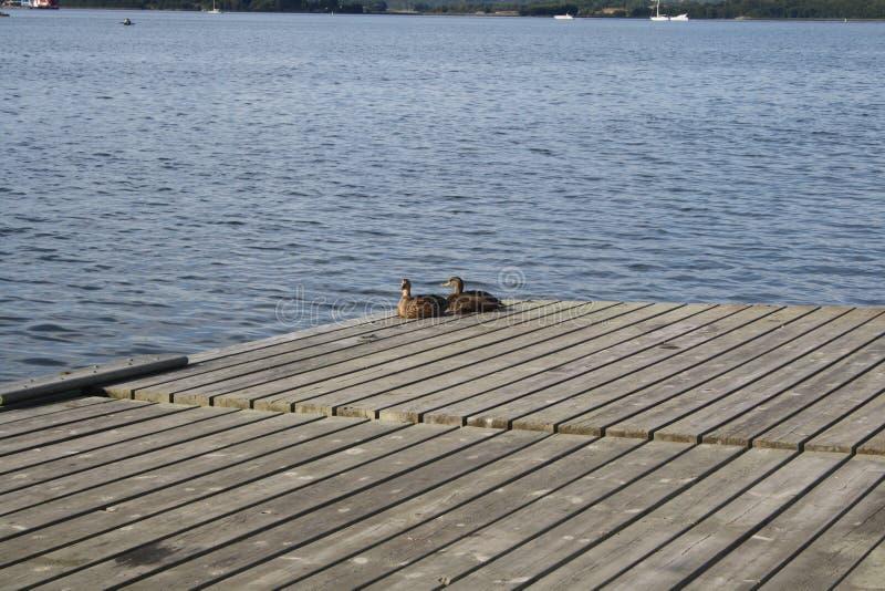 Exposer au soleil de deux canards photo stock