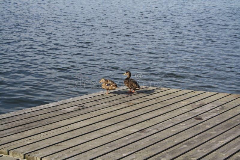 Exposer au soleil de deux canards photographie stock