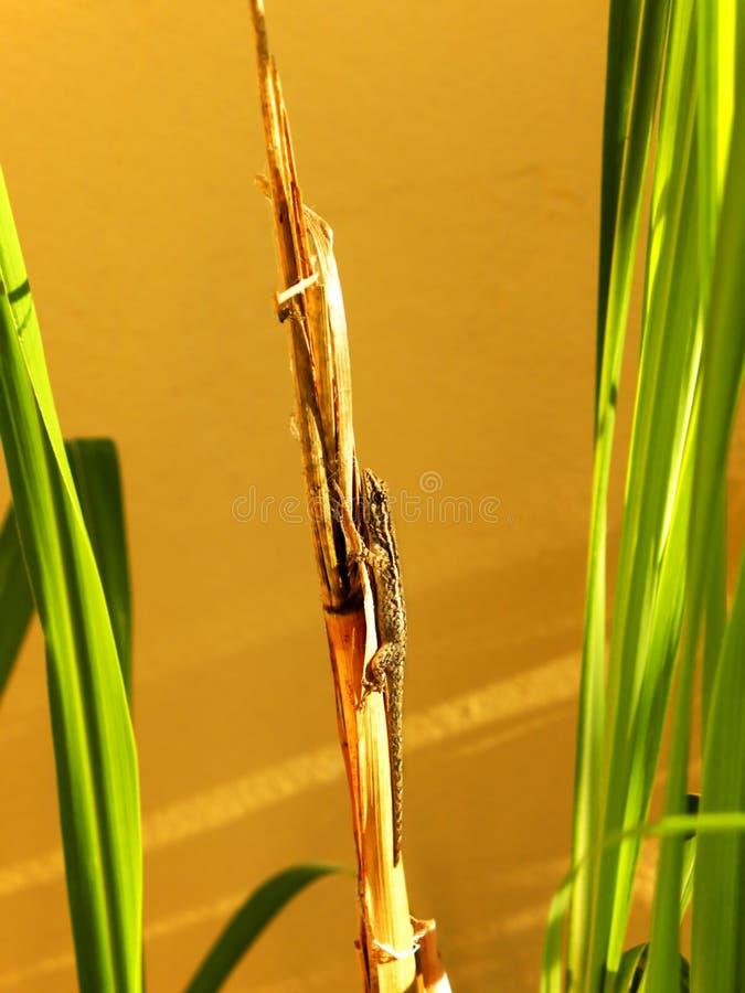 Exposer au soleil le gecko photo libre de droits