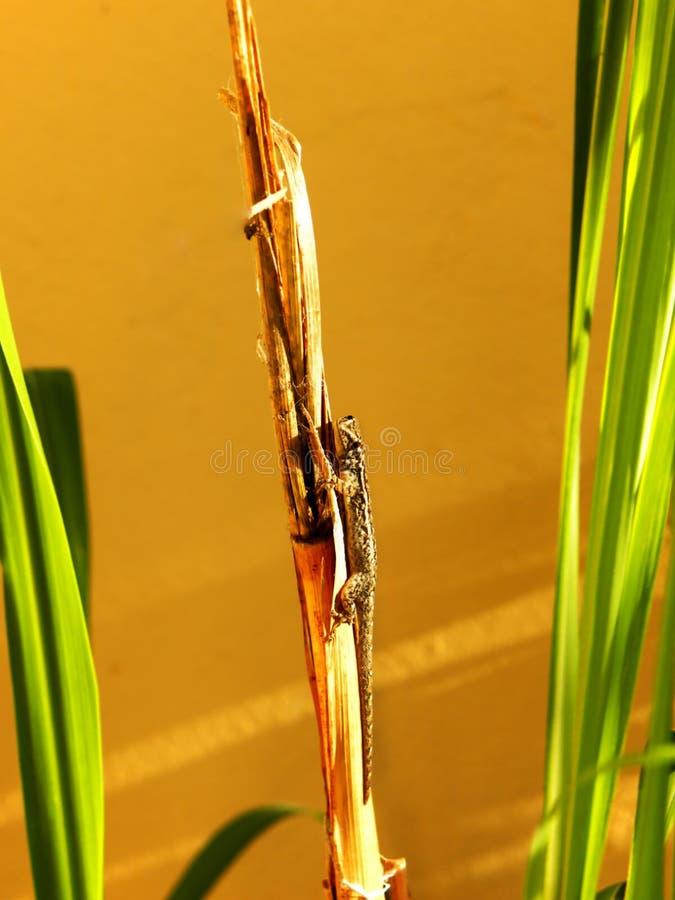 Exposer au soleil le gecko 1 photos libres de droits