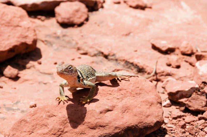 Exposição ao sol do lagarto do deserto de rochas vermelhas fotos de stock royalty free