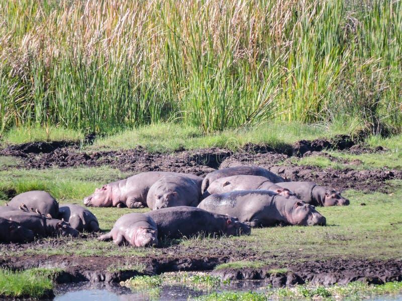 Exposição ao sol dos hipopótamos foto de stock royalty free