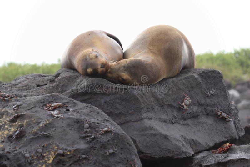 Exposição ao sol dos mares de Galápagos imagem de stock