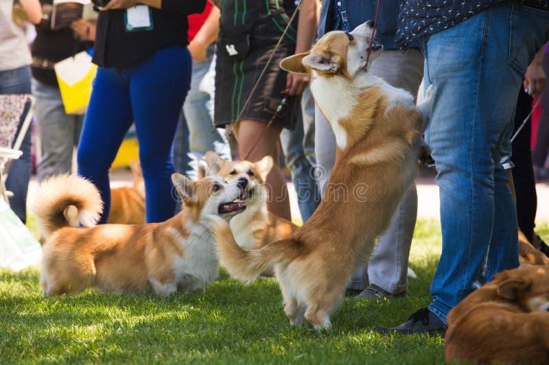 Exposição de cães do Corgi imagem de stock