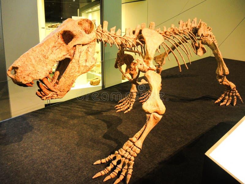 Exposição de esqueleto do dinossauro antigo do tigre no museu de Melbourne fotos de stock