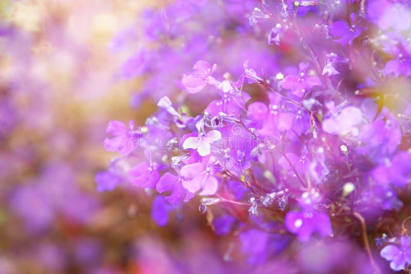 A exposição dobro de flores cor-de-rosa e roxas floresce, criando a foto abstrata e sonhadora foto de stock