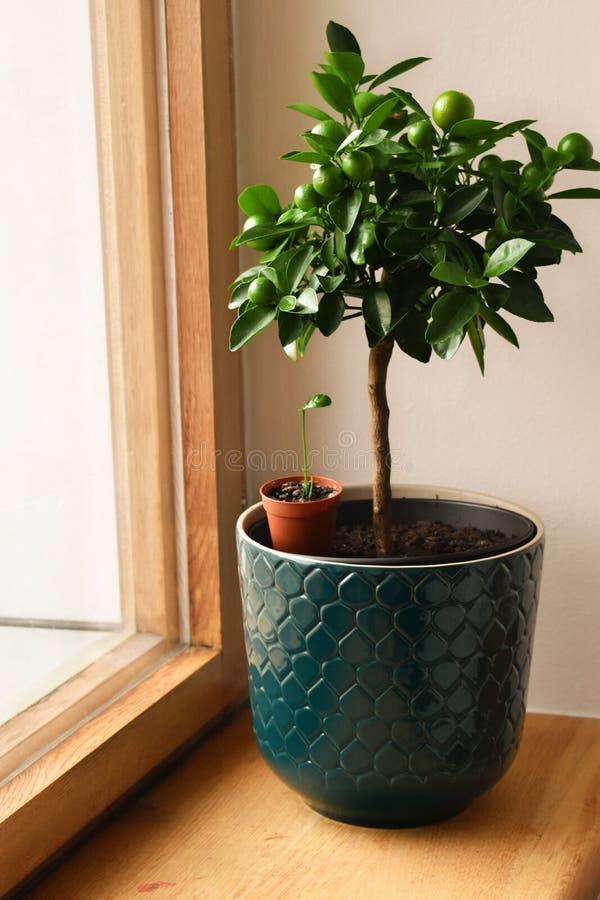 Exposição dos Houseplants Várias plantas da casa ou plantas internas Cozinha, jardinando imagens de stock royalty free