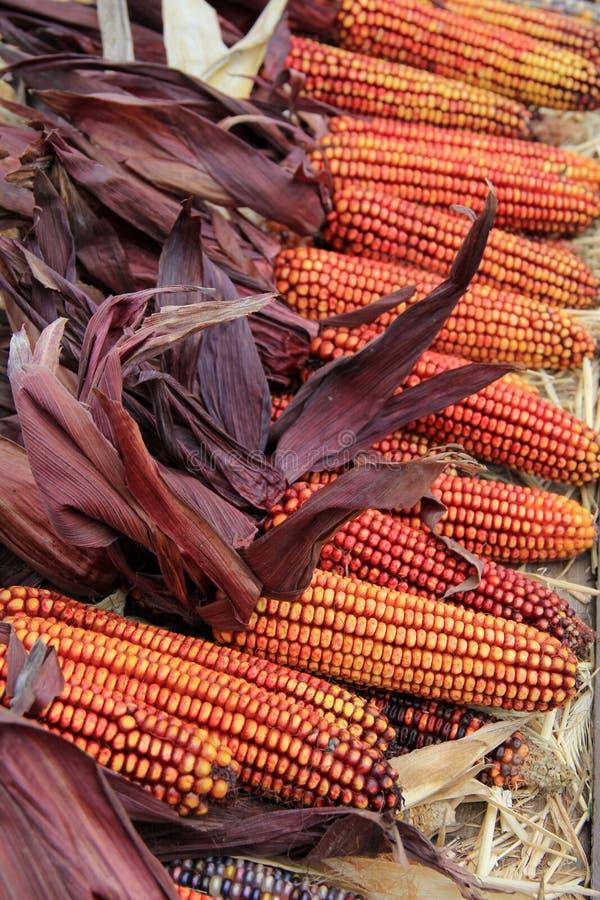 Exposição lindo do milho indiano fotos de stock royalty free