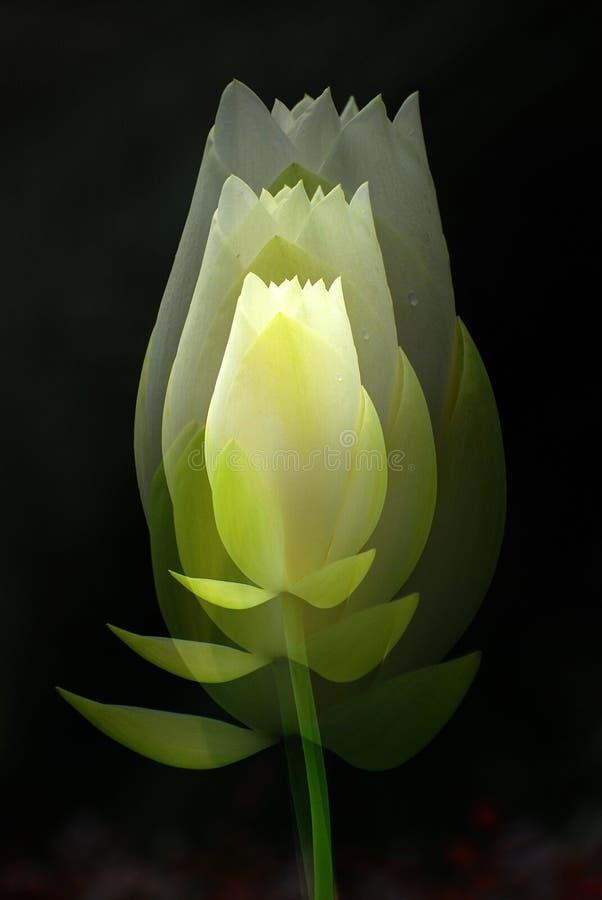 Exposição múltipla da flor branca dos lótus fotografia de stock royalty free