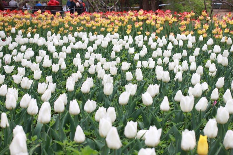 Exposi??o da tulipa imagens de stock royalty free