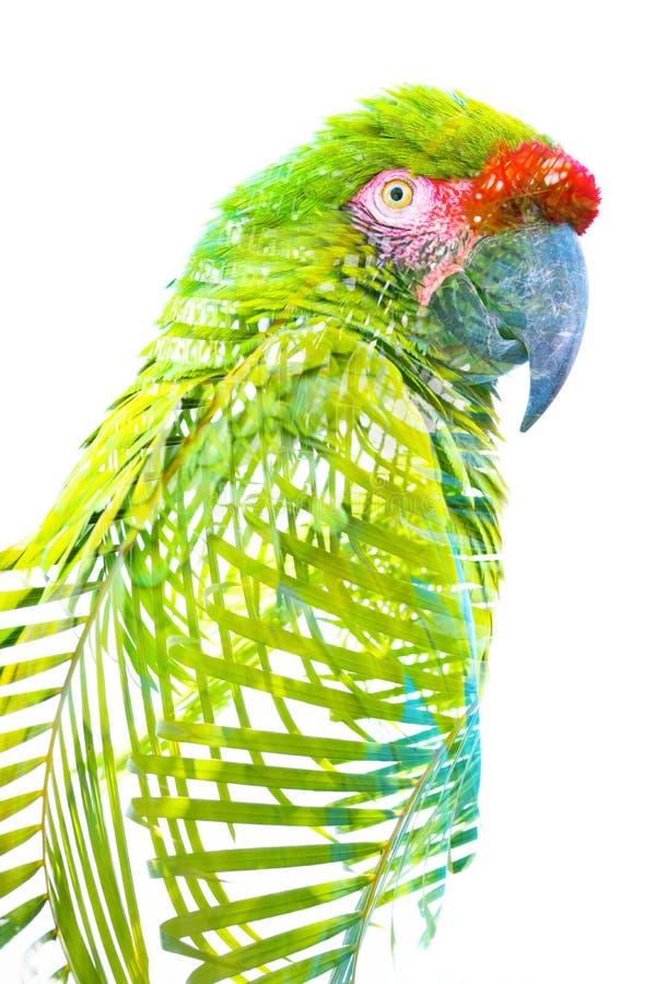 Exposi??o dobro Fotografia de um papagaio tropical combinado com as folhas verde-clara fotos de stock