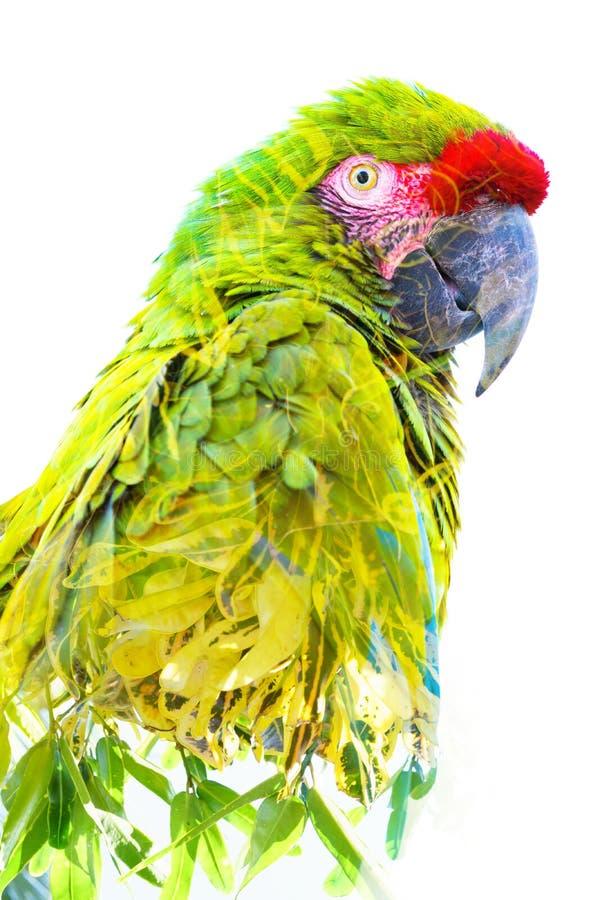 Exposi??o dobro Fotografia de um papagaio tropical combinado com as folhas verde-clara foto de stock