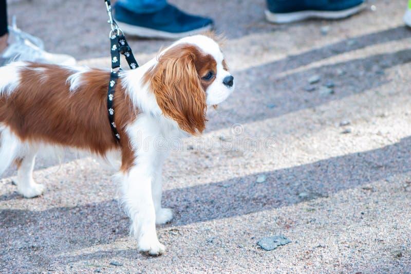 Exposición de perros, rey arrogante Charles Spaniel imagenes de archivo