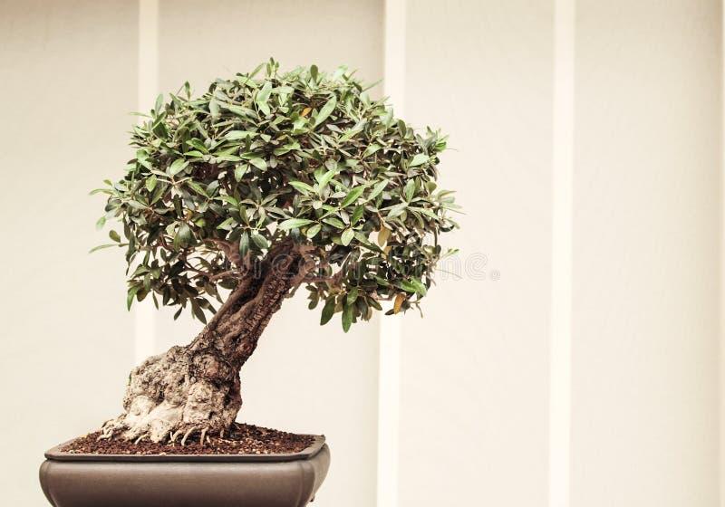 Exposición de un pequeño bonsai imagenes de archivo
