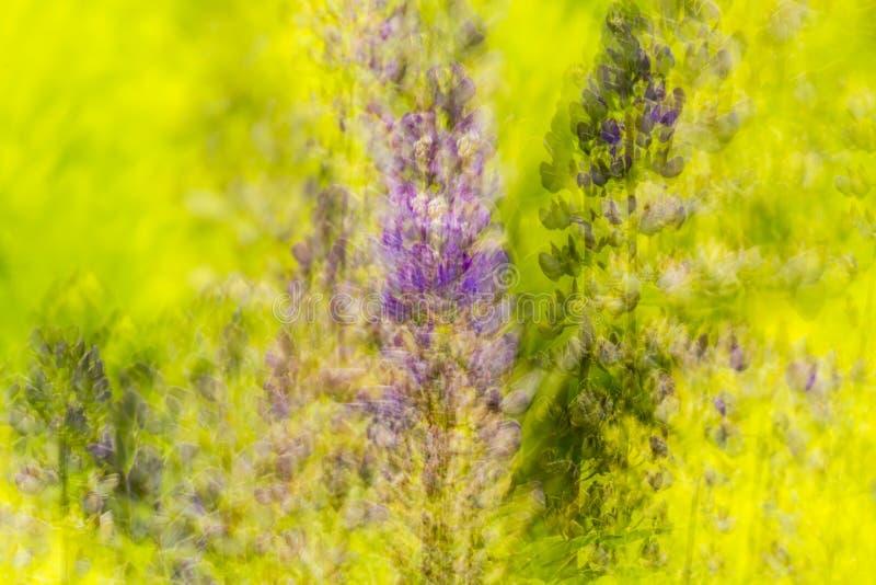 Exposición múltiple del extracto de la naturaleza de flores lupine en Vernon, Connecticut imágenes de archivo libres de regalías