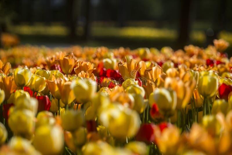 Exposici?n del tulip?n en arboreto del potok de Volcji imagenes de archivo