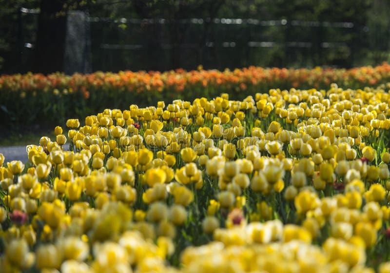 Exposici?n del tulip?n en arboreto del potok de Volcji fotografía de archivo libre de regalías