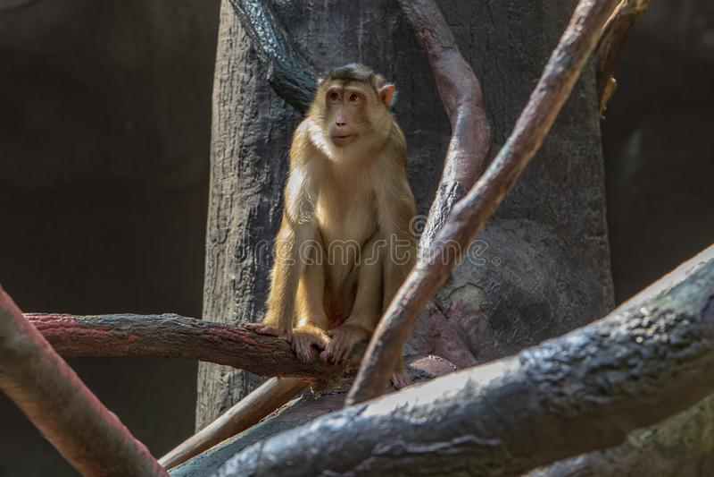 Expositie van de Dierentuin van Praag, waar de apen kunnen worden gezien stock foto's