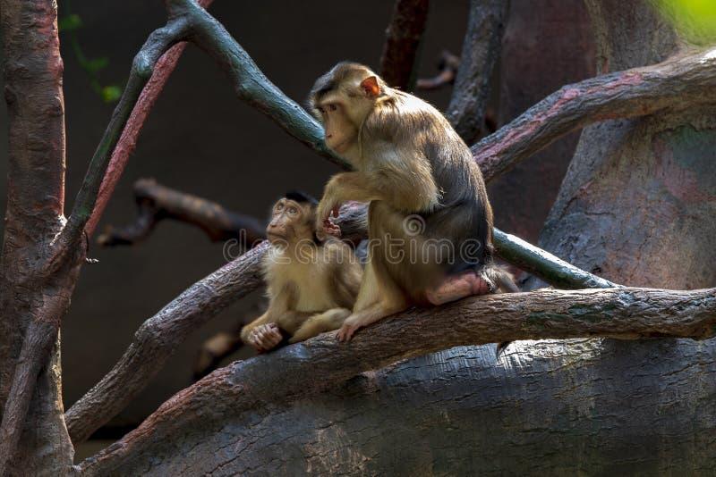 Expositie van de Dierentuin van Praag, waar de apen kunnen worden gezien stock afbeelding