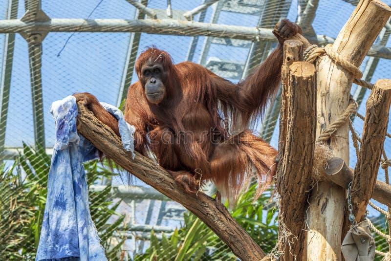 Expositie van de Dierentuin van Praag, waar de apen kunnen worden gezien royalty-vrije stock afbeelding