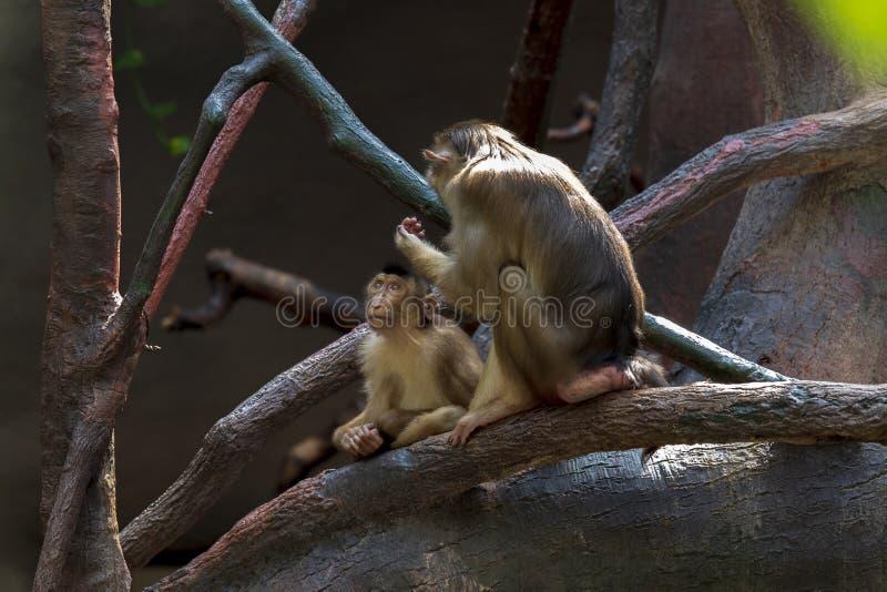 Expositie van de Dierentuin van Praag, waar de apen kunnen worden gezien stock fotografie