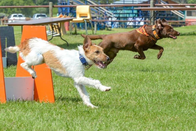 Exposition de chiens image libre de droits
