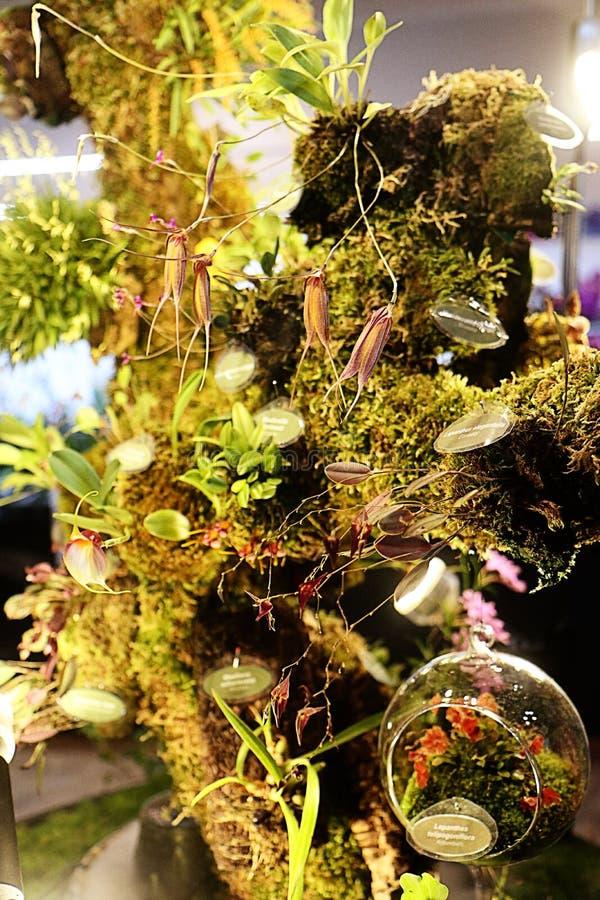 Exposition de fascination d'orchidées, récréation africaine d'habitat images libres de droits