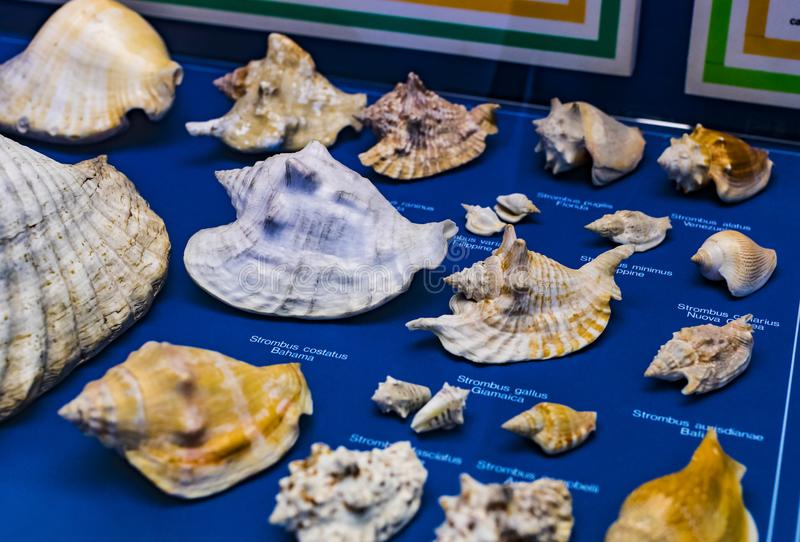 Expositions of history of the evolution and development of mollusks in the Museum of Natural History in Milan. 7 JUNE 2018, MILAN, ITALY: Expositions of history stock images