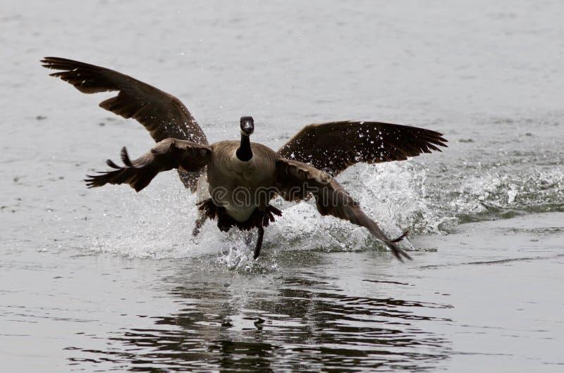 Expressieve foto met de gans die van Canada vanaf zijn rivaal vliegen royalty-vrije stock foto's