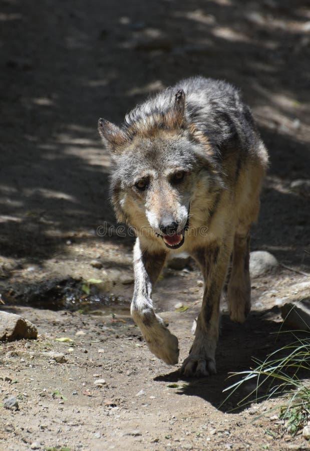 Expression curieuse sur le visage d'un loup de bois de construction image libre de droits