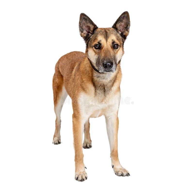 Expression de Crossbreed Dog Sad de berger allemand images stock