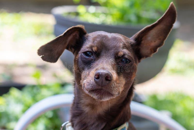 Expression de portrait de chien de pisncher de Brown apathique image libre de droits