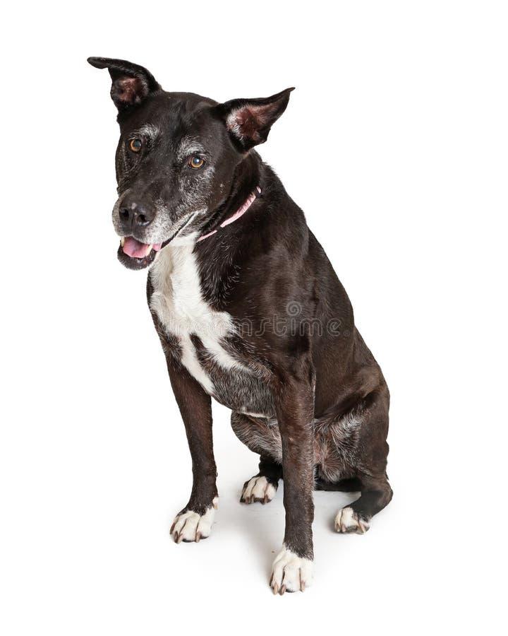 Expression heureuse de vieux chien supérieur photographie stock