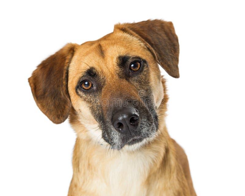 Expression triste de chien de croisement de jaune de portrait photo libre de droits