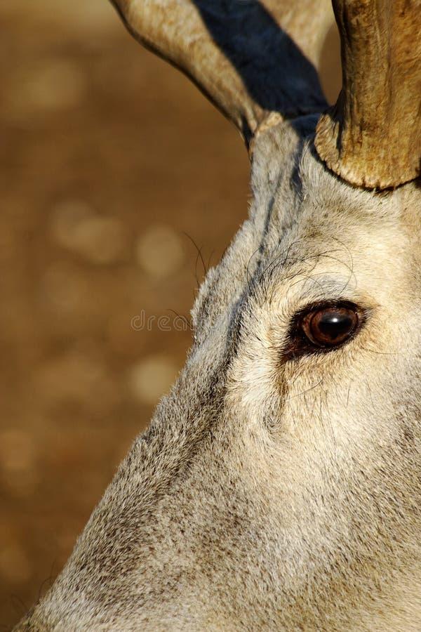 Download Expressive Eyes-deers Stock Photo - Image: 409800
