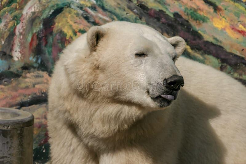 Polar bear at Quebec aquarium. Expressive face of a polar bear for tourists great pleasure at Quebec aquarium royalty free stock photography