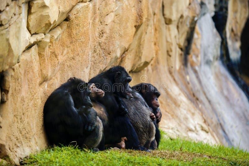 Expressive image whit chimpanzee monkey. At zoo stock image