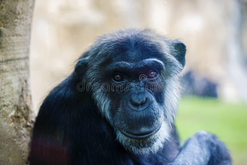 Expressive image whit chimpanzee monkey. At zoo royalty free stock photography