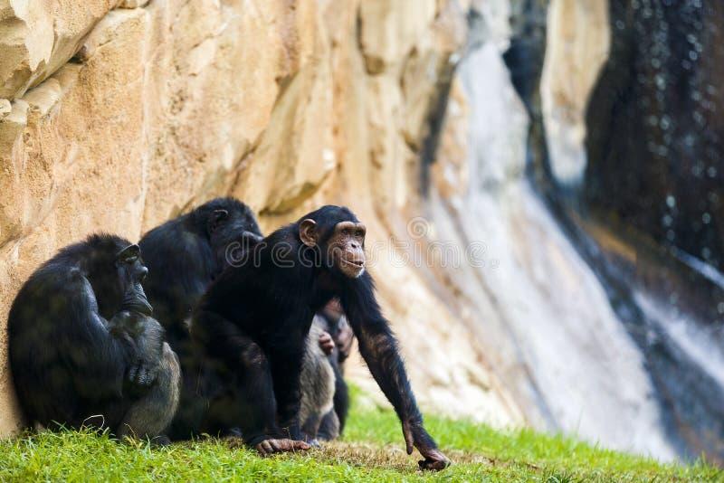 Expressive image whit chimpanzee monkey. At zoo royalty free stock images