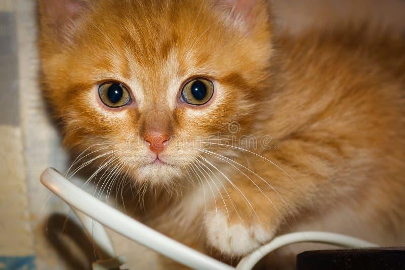 Expressive look of ginger kitten stock photo