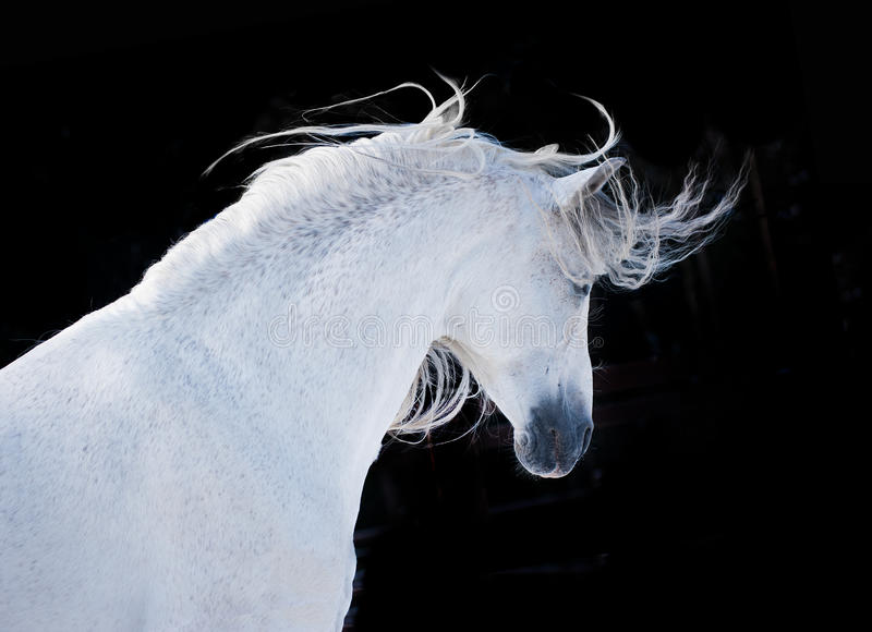 Expressive white andalusian horse portrait on black background royalty free stock photo