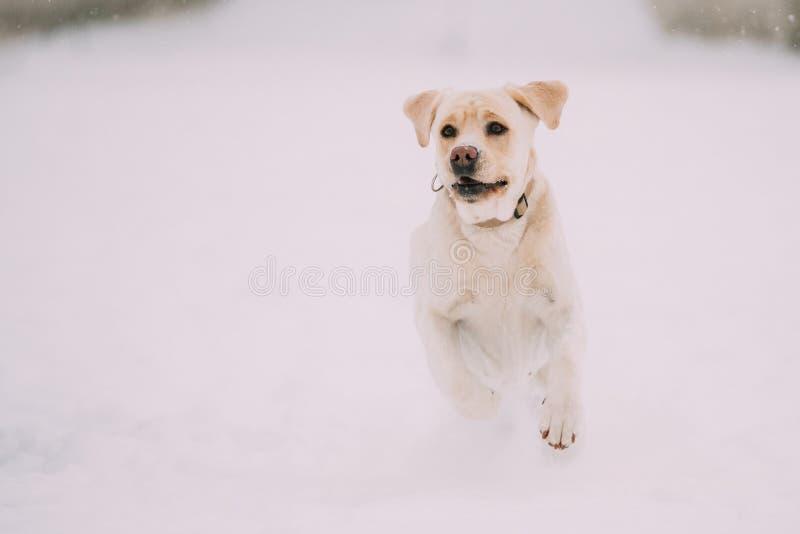 Extérieur couru par jeu de chien de Labrador dans la neige, saison d'hiver image stock
