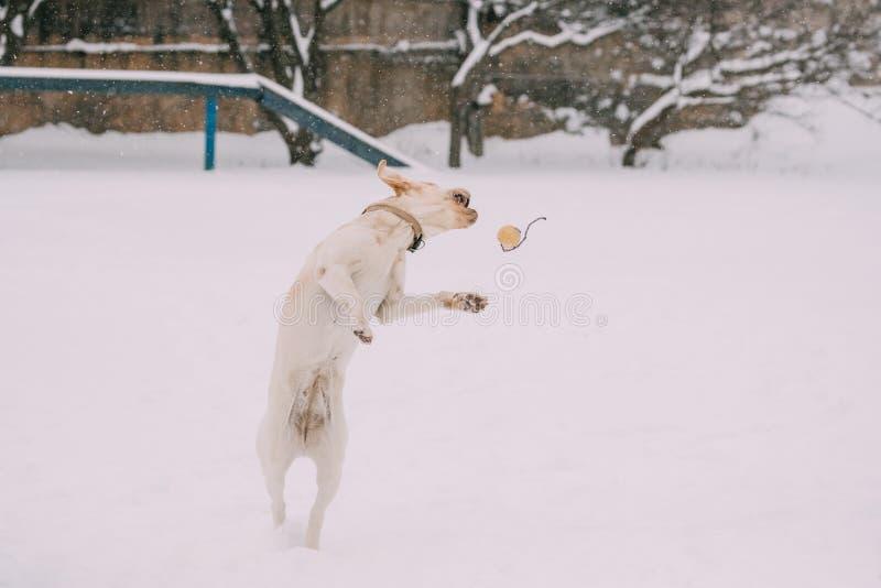 Extérieur couru par jeu de chien de Labrador dans la neige, saison d'hiver image libre de droits