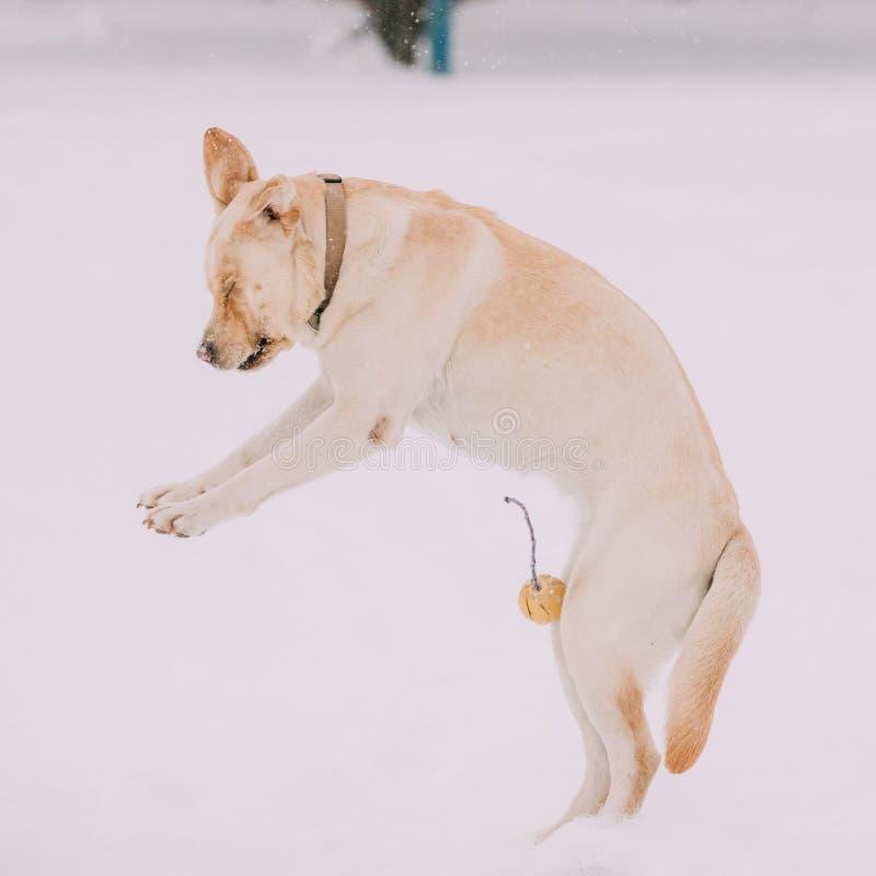 Extérieur couru par jeu de chien de Labrador dans la neige, saison d'hiver images stock