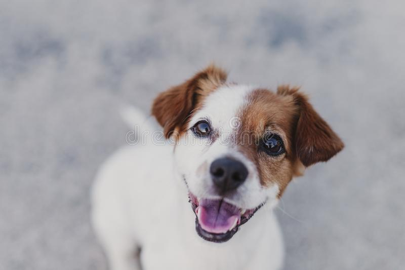 extérieur de portrait d'un petit chien mignon se reposant sur le plancher et regardant la caméra Animaux familiers dehors photo libre de droits