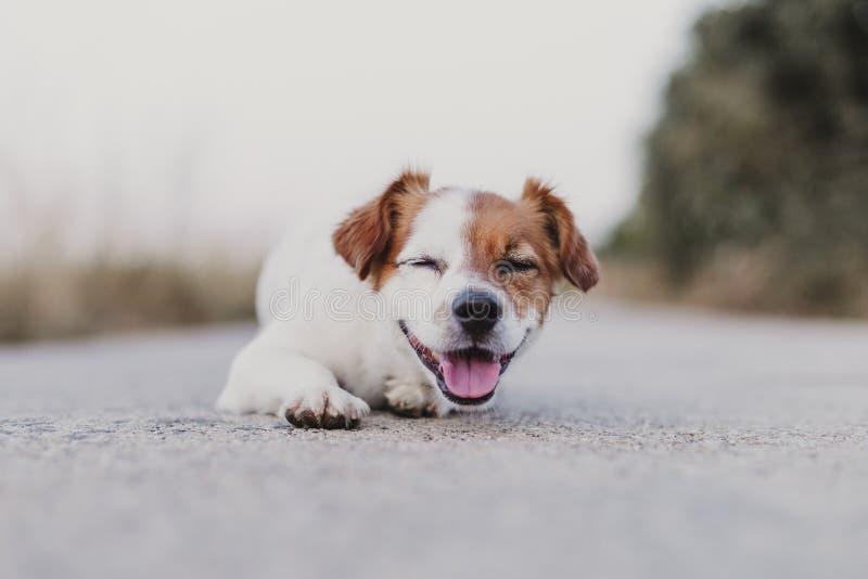 extérieur de portrait d'un petit chien mignon se reposant sur le plancher et regardant la caméra Animaux familiers dehors photos libres de droits