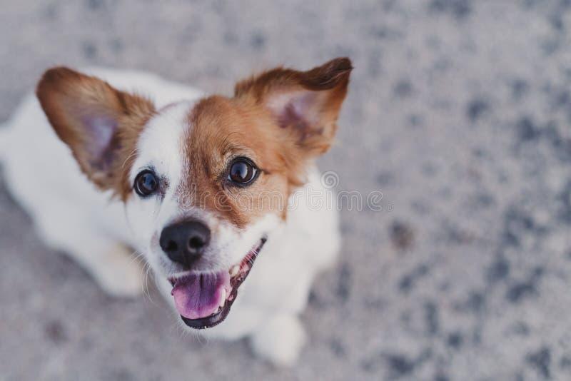 extérieur de portrait d'un petit chien mignon se reposant sur le plancher et regardant la caméra Animaux familiers dehors photographie stock libre de droits