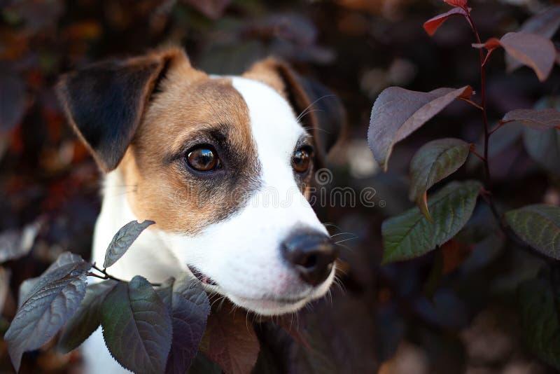 Extérieur de race de chien de Jack Russell Terrier sur la nature un jour d'été Chien heureux se reposant dans le feuillage images libres de droits
