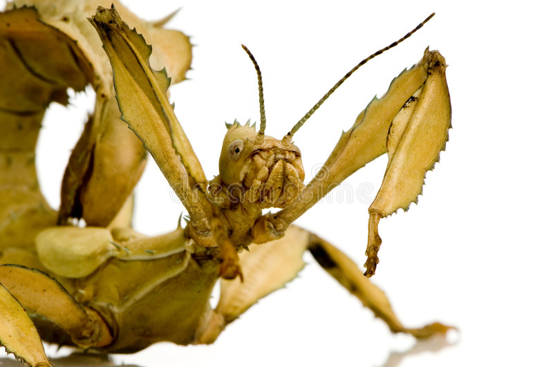 extatosoma昆虫phasmatodea棍子tiaratum 免版税库存照片