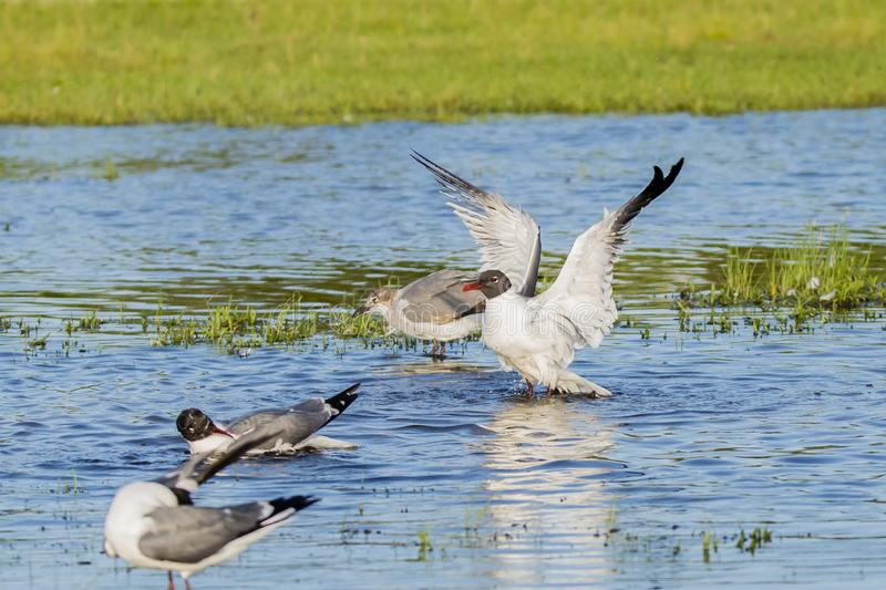 Laughing Gulls in Breeding Plumage Threat Display. Extending it`s wings and standing up in a blue pool of water near some grass, a white and black hooded gull stock image